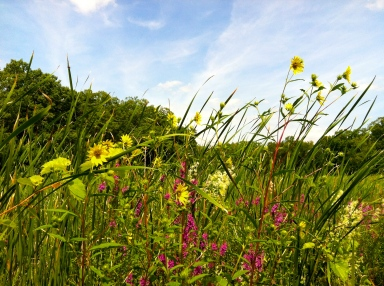 Fields of cattails and wild flowers