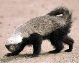 This is the honey badger, and he don't care about no yoga poses. Source: Wikipedia