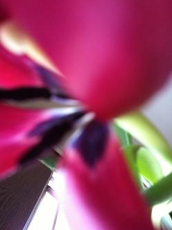 Tulip Five