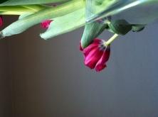 Tulip Three