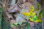 Climb up Mount Tom -- leaf